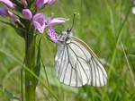 Sortret hvidvinge (Aporia crataegi)